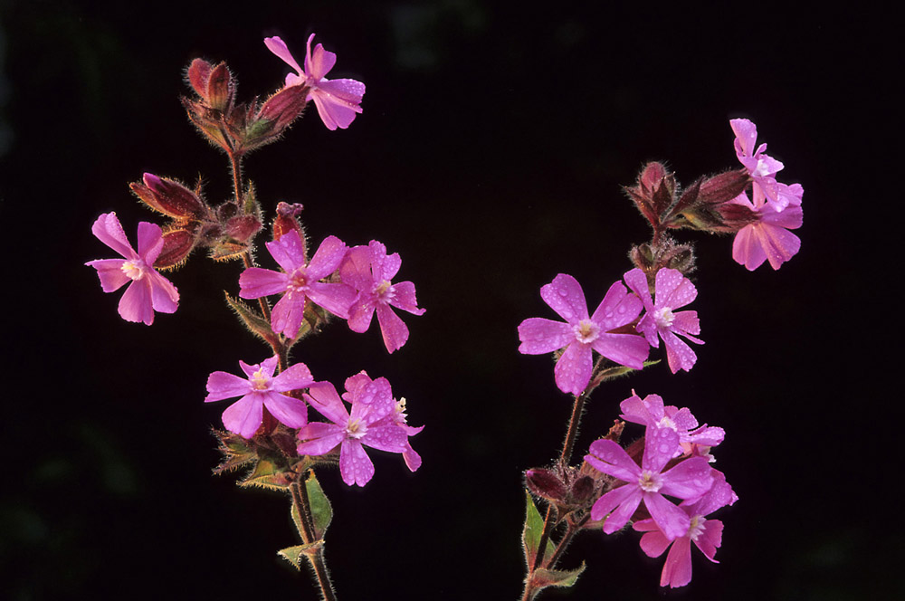 koekoeksbloemen-1000-jpg