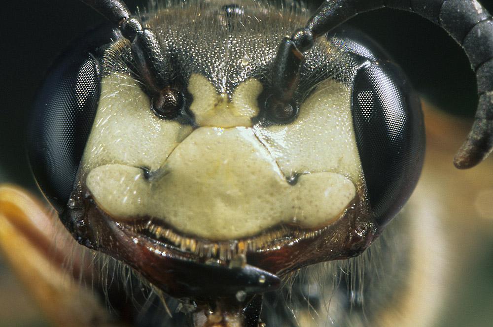 kop-bijenwolf-1000-jpg