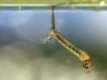 hele-larve-aan-wateropp-1000-jpg