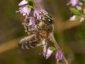 honingbi op heide 1000j