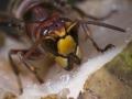 web-close-up-hoornaar-jpg