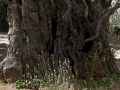olijfboom-jpg