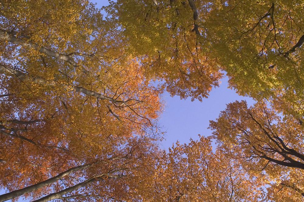 herfst-beuken-jpg