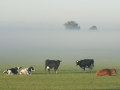 021-koeien-in-de-mist-jpg