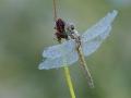 libelle-dauw-1000-jpg