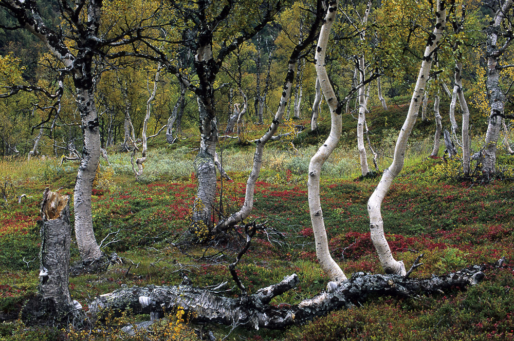berken-herfst-jpg