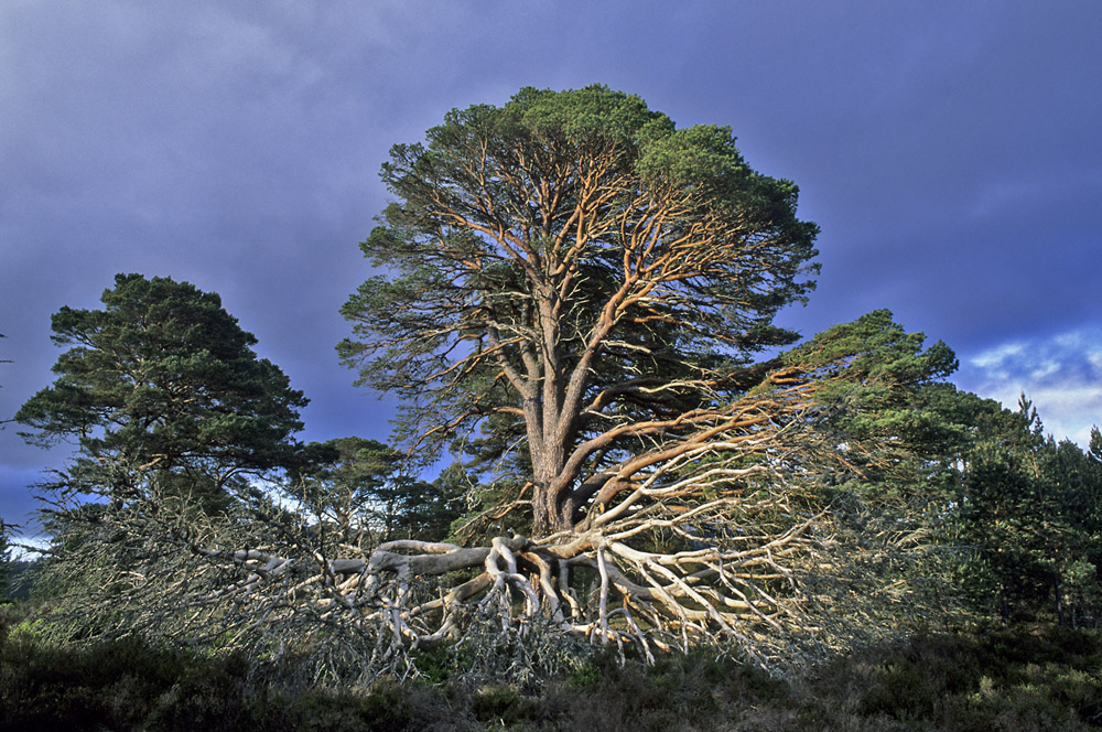 calodonien-pine-donkere-lucht-jpg