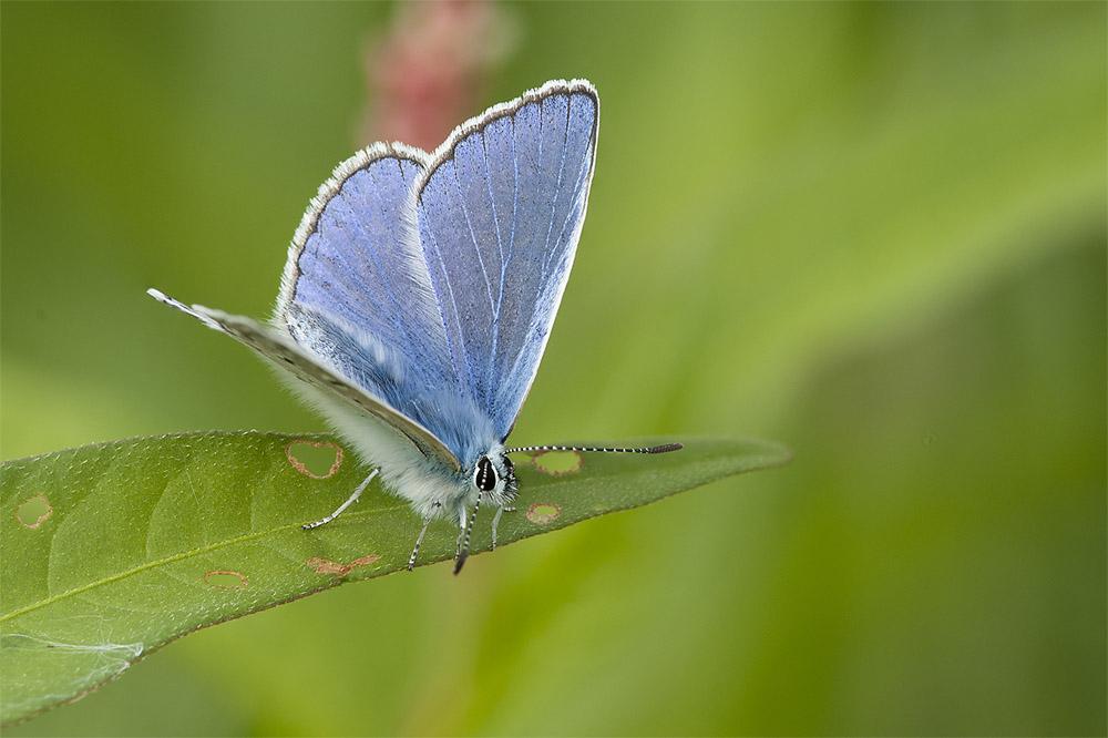 Icarus blauwtje 1000