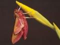 118-avondrood-vlinder-aan-gele-lis-web-jpg
