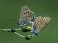 web-gentiaan-blauwtjes-paring-jpg
