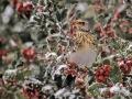 073-kramsvogel-met-bes-web-jpg