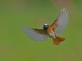 gekraagde-roodstaart-vliegbeeld-1000-jpg