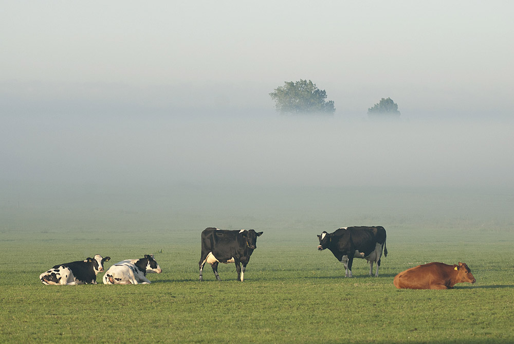 007-koeien-in-de-mist-1000-jpg