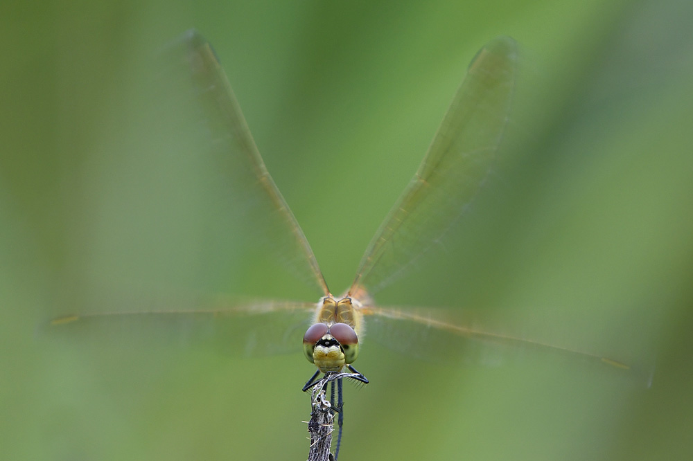 Kempense heidelibel