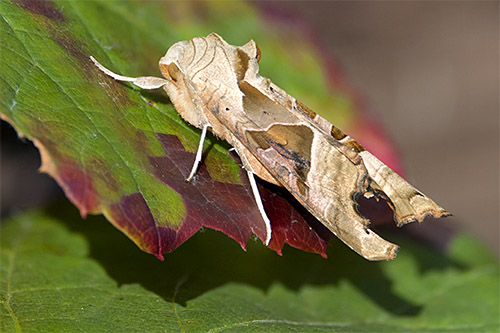 agaat vlinder nws