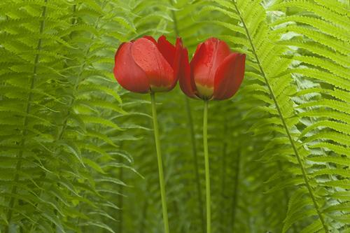 rode tulpen en varens 500