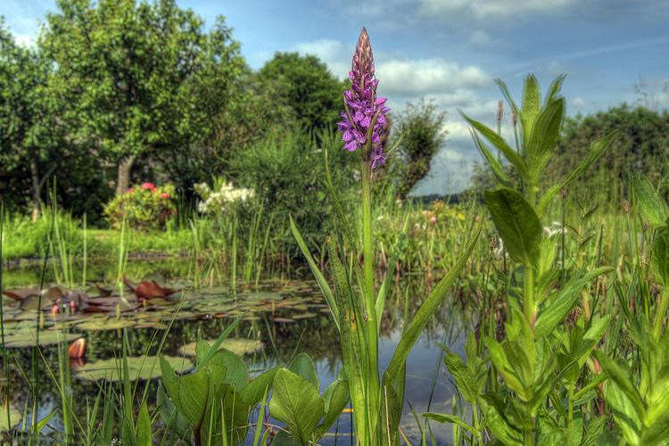 orchis in de vijver 750