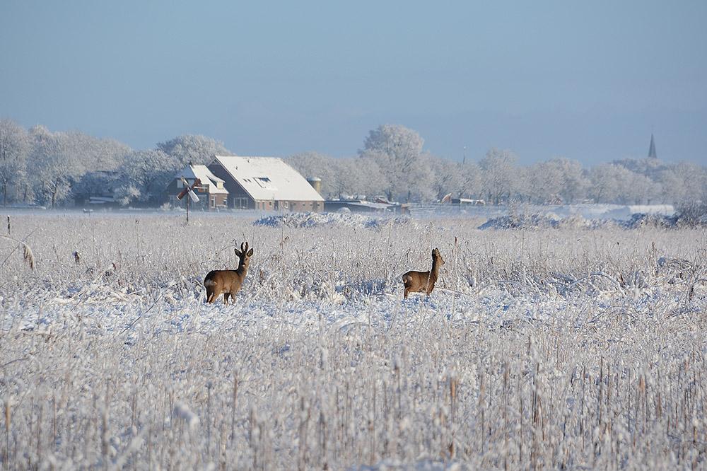 JVK_7355 reeen 1000 sneeuw
