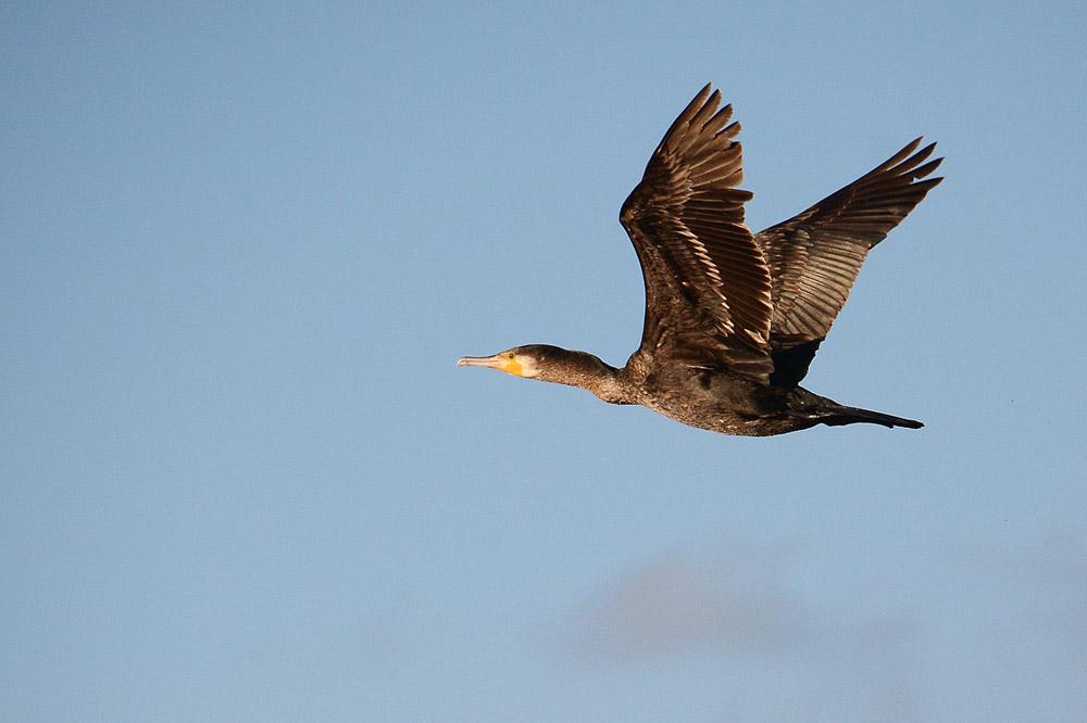 vogels nederland bruin