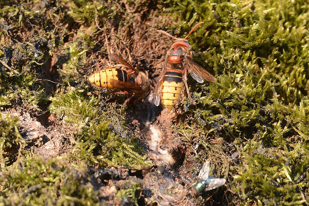 Hoornaars op bloedende Eik