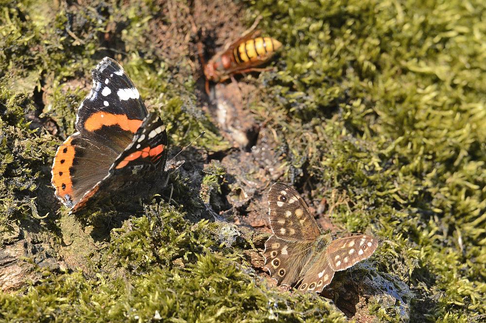 Vlinders en Hoornaars