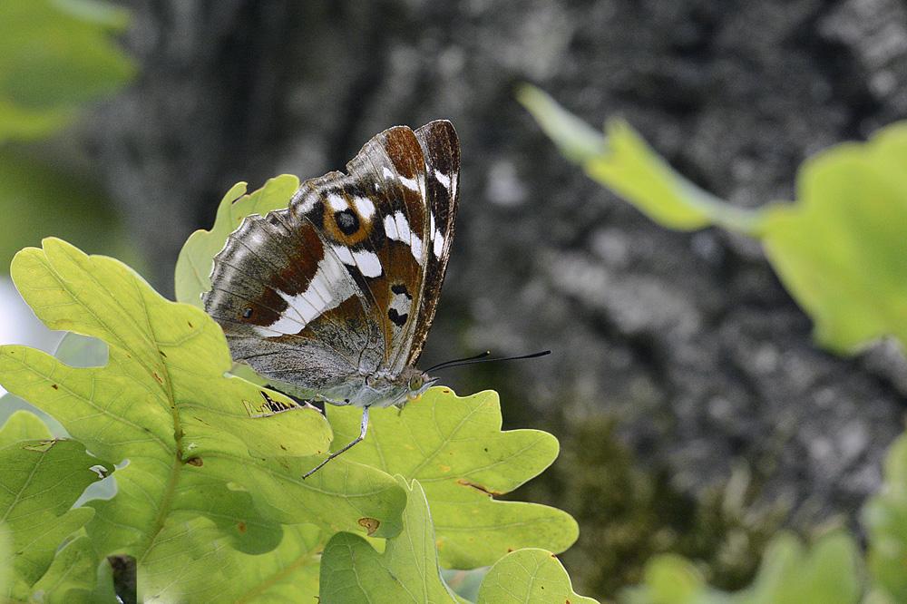 Grote Weerschijnvlinder op blad Eik