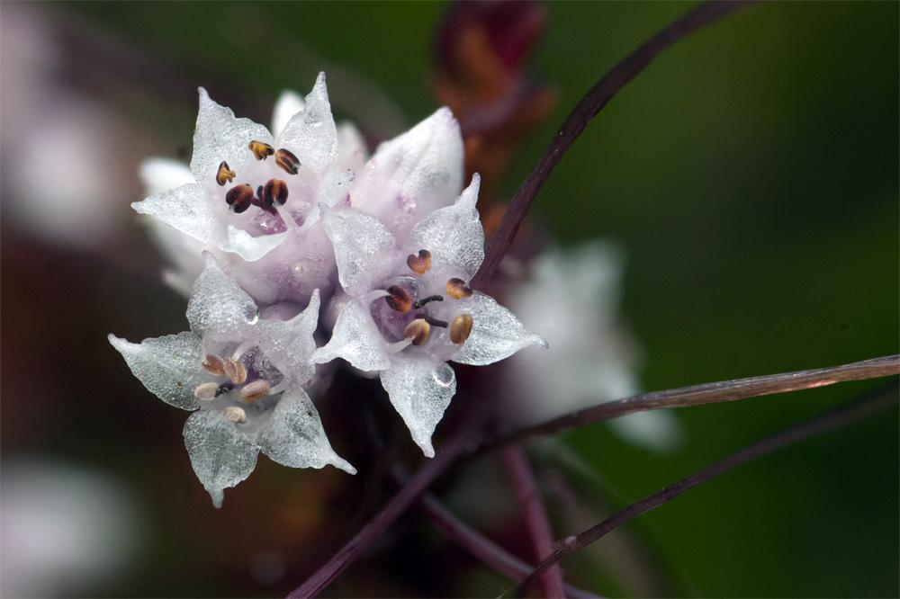 Bloemen Klein warkruid