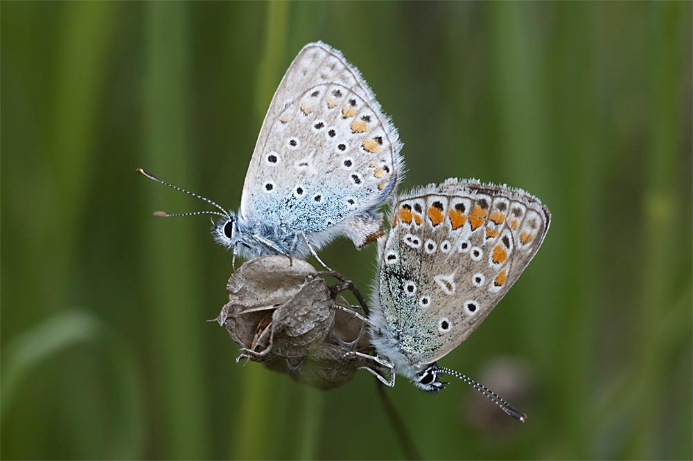 Paring Icarus blauwtjes stapel foto
