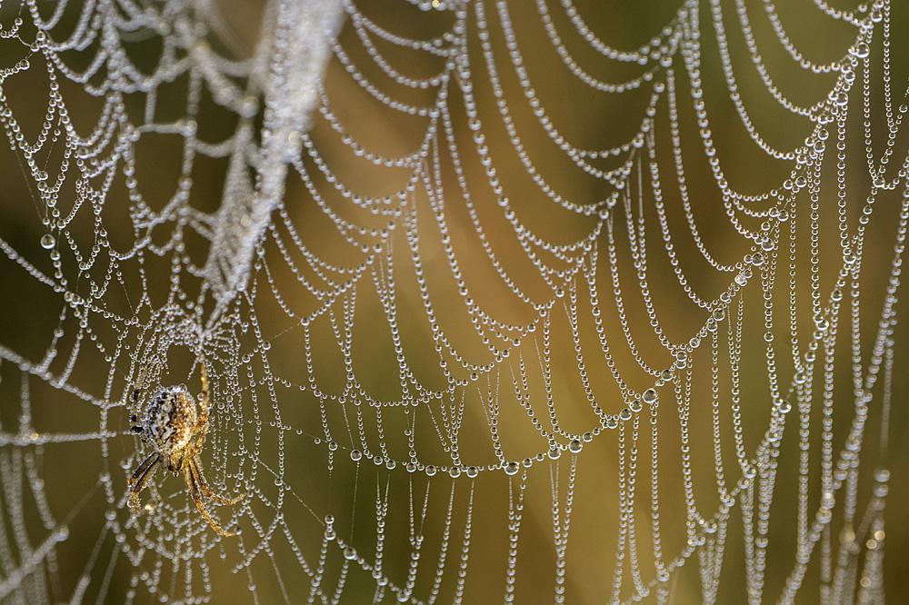 Spinnenweb met dauw