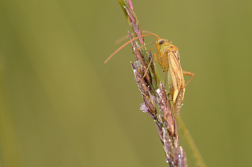 Wants, Myrmus miriformis