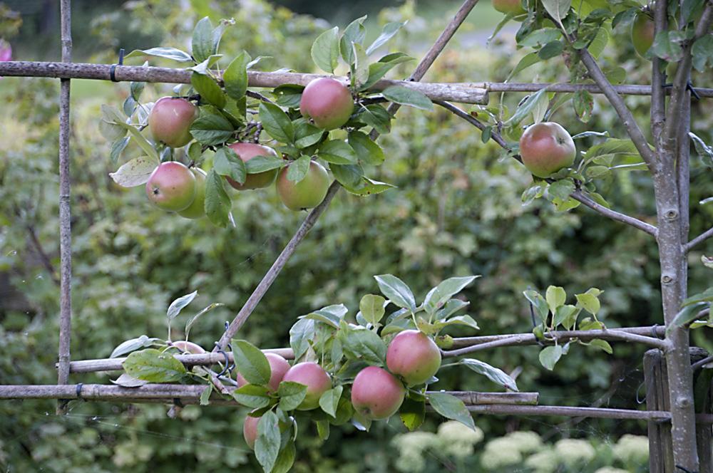 Lombard appelboom bij ons huis
