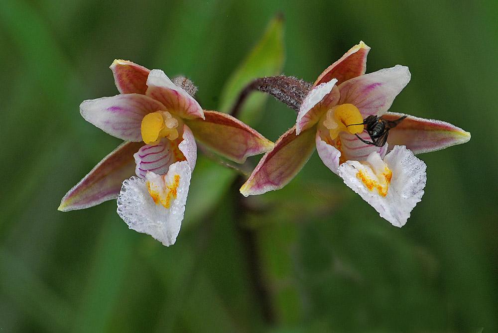 093-moeraswespenorchis-bloemen-1000-jpg