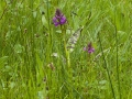breedbladige orchis Dr Aa 1000