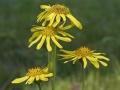 web-arnica-bloemen-jpg