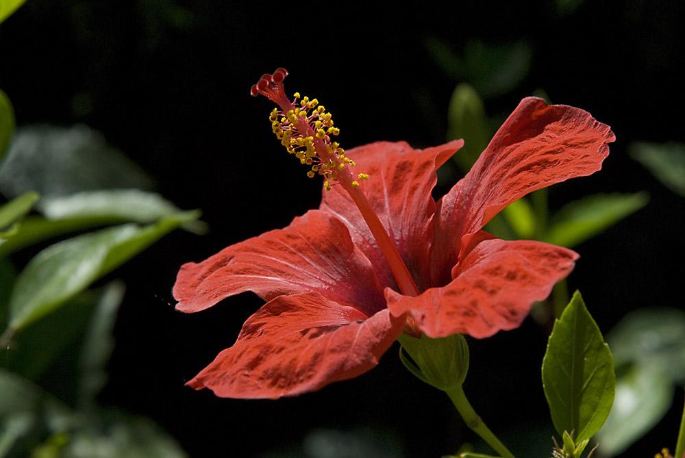 hibiscus-bloem-jpg