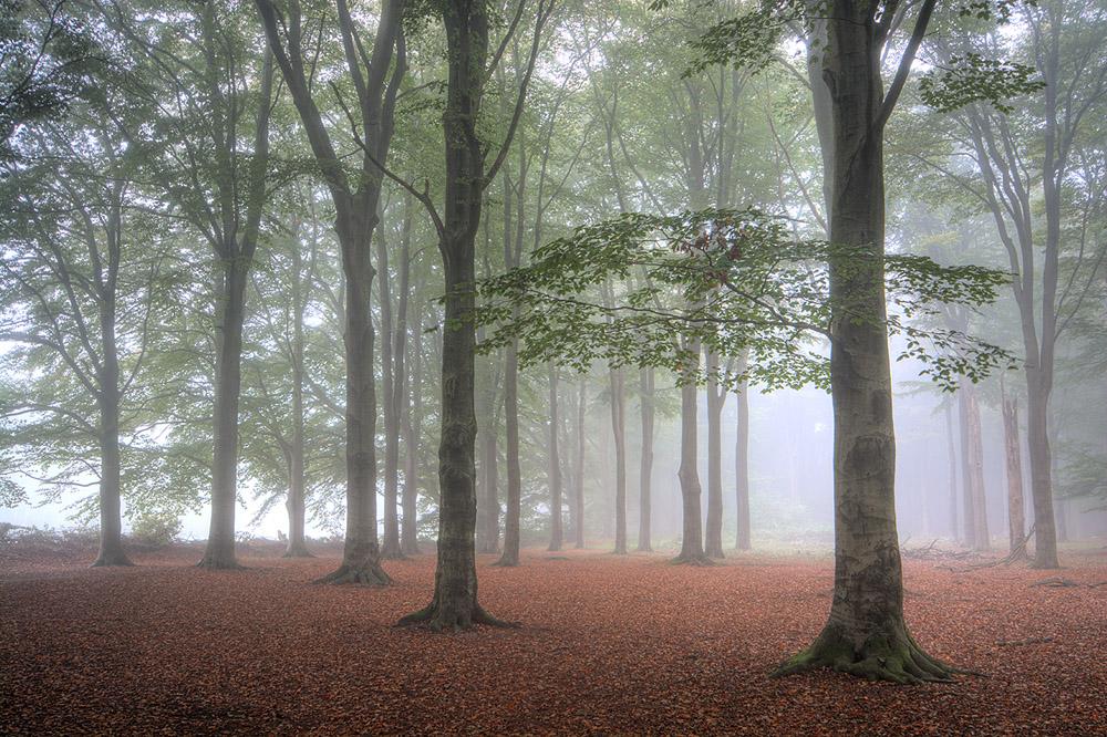 mist in beukenbos 1000