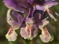 bloemen-vlierorchis-jpg