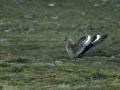 grote-jager-met-open-vleugels-web-jpg