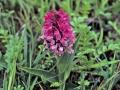 vleeskleurige-orchis-jpg