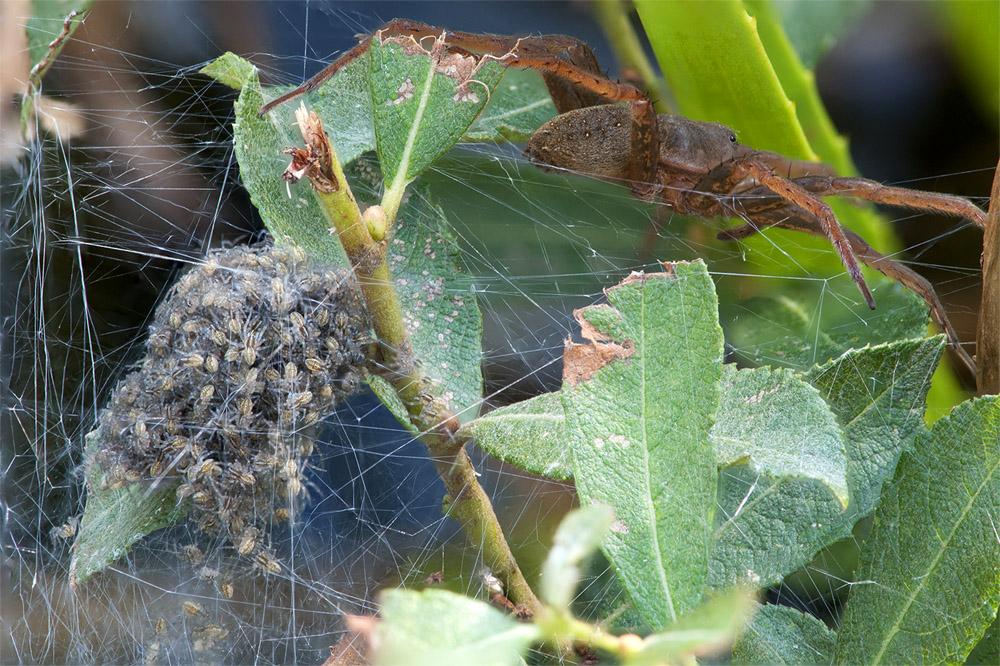 nest-oeversp-m-vrouwtje-web-jpg