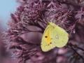 oranje-luzernevlinder-web-jpg