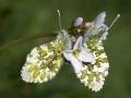 oranjetip_vlinders_paring_20120415_1388642343-jpg